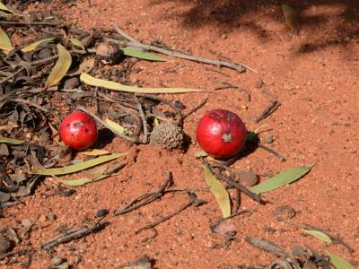 Quandong (Santalum acuminatum)  Photo by Amanda Keesing
