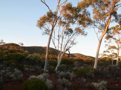 Ptilotus obovatus under Eucalypts against the hills of Helena and Aurora Range, Bungalbin.  Photo by Amanda Keesing