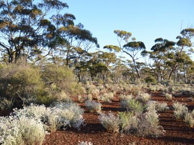 Eucalypt Woodland over saltbush (Atriplex species and other Chenopods).  Photo by Amanda Keesing