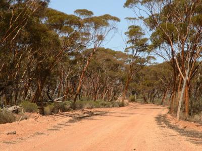 Track through stand of Gimlets (Eucalyptus salubris).  Photo by Amanda Keesing
