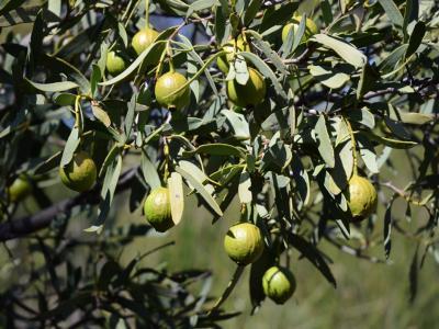 Quandong (Santalum acuminatum) Photo by Amanda Keesing