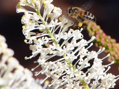 Honeybee  Photo by Amanda Keesing