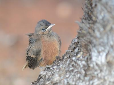 Fledgling of Rufous Treecreeper  Photo by Amanda Keesing