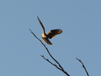 Brown Falcon  Photo by Amanda Keesing