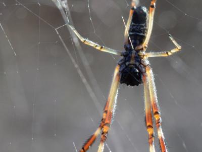 Orb spider  Photo by Amanda Keesing