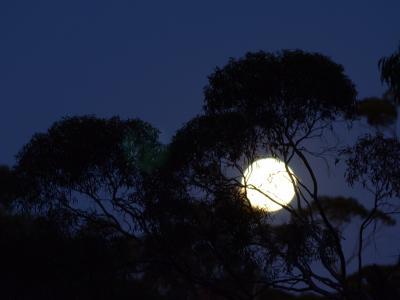 Moon behind Eucalypt trees.  Photo by Amanda Keesing