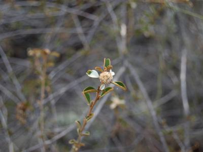 Stenanthemum newbeyi