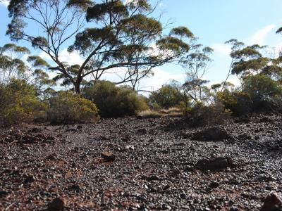 Eucalyptus ebbanoensis on footslopes of Helena and Aurora Range.  Photo by Laura Corbett