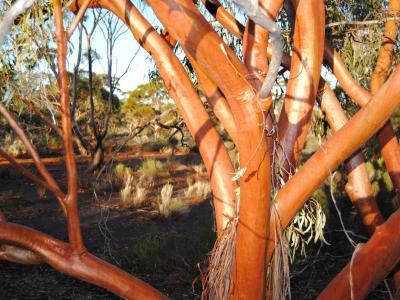 Eucalyptus salubris (Gimlet).  Photo by Laura Corbett