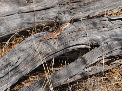 Western Netted Dragon (Ctenophorus reticulatus)