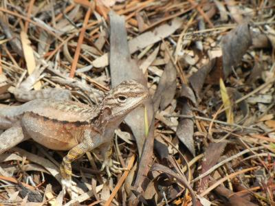 Crested Bicycle Dragon(Ctenophorus cristus)  Photo by Laura Corbett