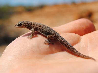Clawless Gecko (Crenadactylus ocellatus)  Photo by Laura Corbett