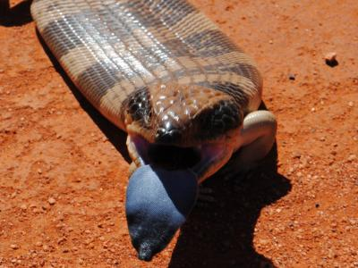 Western Blue-tongue (Tiliqua occipitalis)  Photo by Laura Corbett