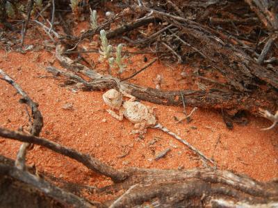 Pebble Dragon (Tympanocryptis cephalus)  Photo by Laura Corbett