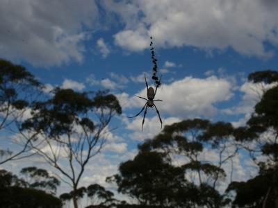 Orb Spider  Photo by Vicki Warburton