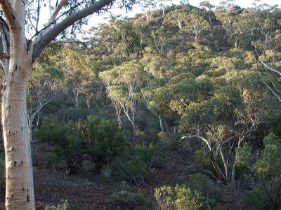 Eucalyptus capillosa subsp. capillosa (Inland White Gum) on the slopes of the Range.