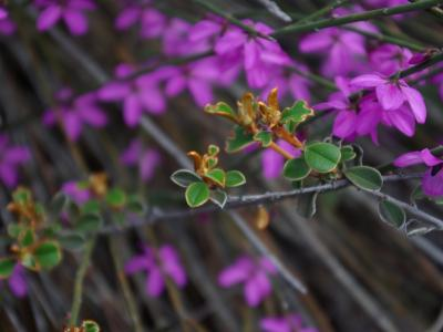 Tetratheca aphylla subsp. aphylla and Stenanthemum newbeyi