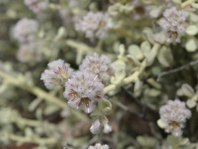 Ptilotus obovatus subsp. obovatus