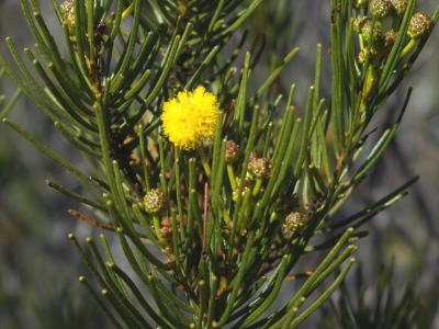 Acacia shapelleae.  Photo by Geoff Cockerton