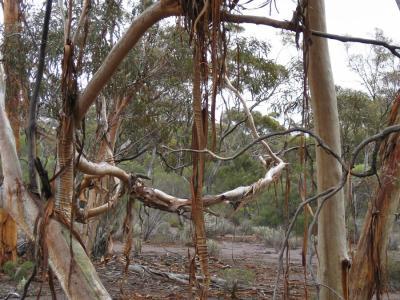 Eucalyptus vittata with its hanging strips of bark.  Garden Club photo