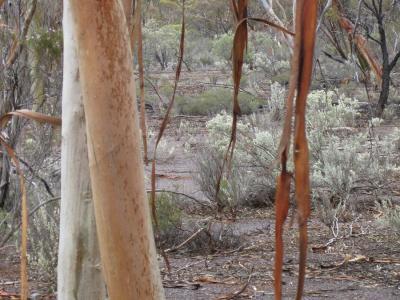 Eucalyptus vittata and hanging strips of bark.  Garden Club photo