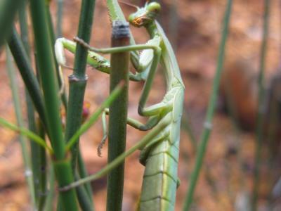 Praying Mantis  Photo by Amanda Keesing