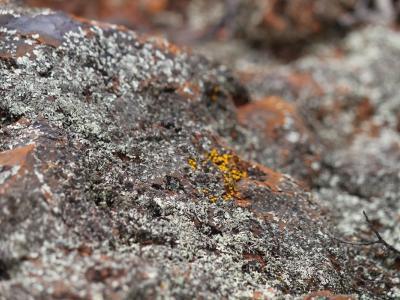 Lichen on BIF rock