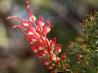 Grevillea georgeana  Photo by Rob Neave