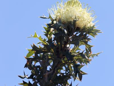 Dryandra arborea
