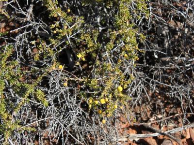 Acacia adinophylla
