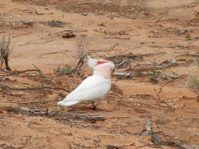 Major Mitchell's Cockatoo  Photo by Laura Corbett