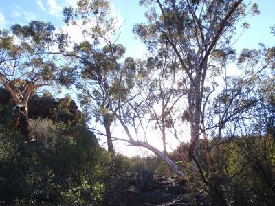 Eucalypts on top of the Range.