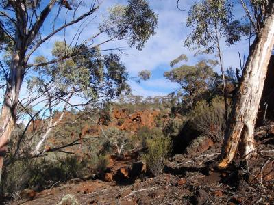 Eucalypts near the top of the Range.