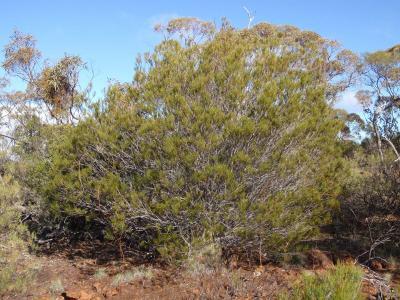 Acacia shapelleae.  Photo by Geoff Cockerton