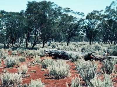Mixed Eucalypt Woodland with Atriplex in the understorey, 11km NE of Bungalbin Hill.  Photo by Ken Newbey, September 1982