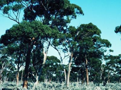 Eucalyptus salmonophloia (Salmon Gum) Woodland, 3km SSW of Bungalbin Hill.  Photo by Ken Newbey, September 1982.