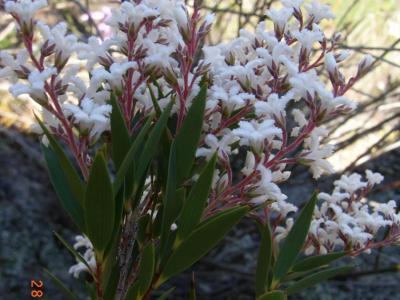 Leucopogon spectablis
