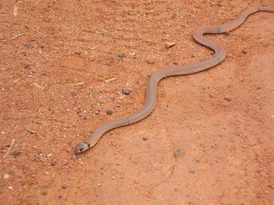 Ringed Brown Snake (Pseudonaja modesta)  Photo by Laura Corbett