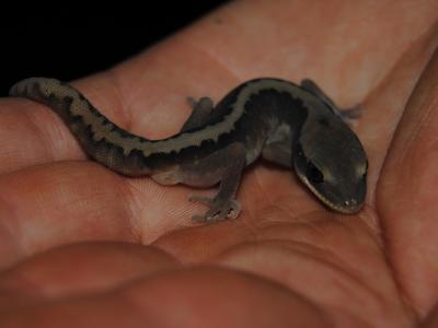 Wheatbelt Stone Gecko (Diplodactylus granariensis)  Photo by Laura Corbett