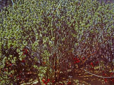 Chamelaucium.  Photo by Ken Newbey (1987)