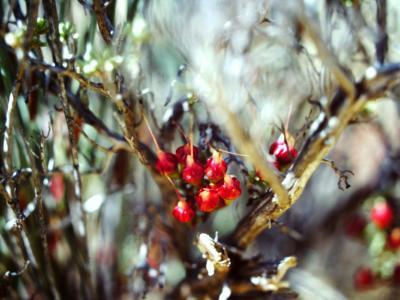 Chamelaucium (fruit).  Photo by Ken Newbey (1987)