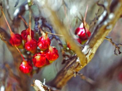 Chamelaucium (fruit).  Photo by Ken Newbey (1987)